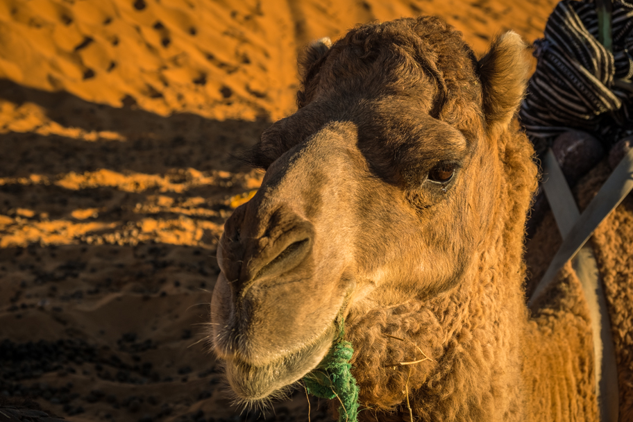 Camel, Sahara Desert, Morocco | Barbara Cameron Pix | Food & Travel Photographer