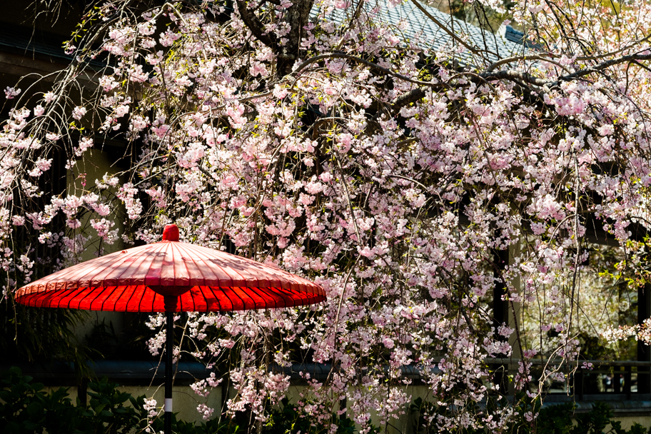 Cherry Blossoms and red umbrella in Kyoto, Japan | Barbara Cameron Pix | Food & Travel Photographer